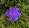 Hepatica nobilis var .japonica Hepati15
