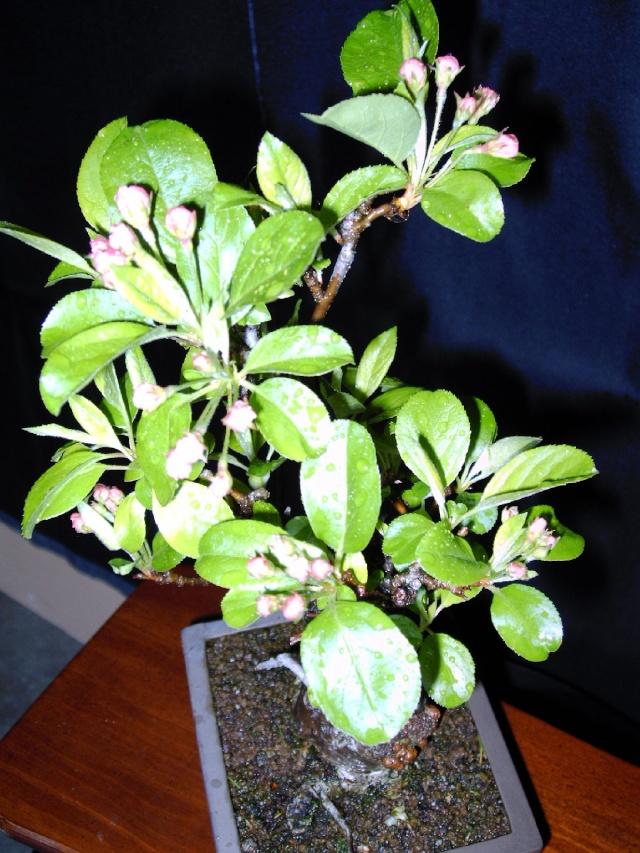 Bonsaï en fleur Malus_12