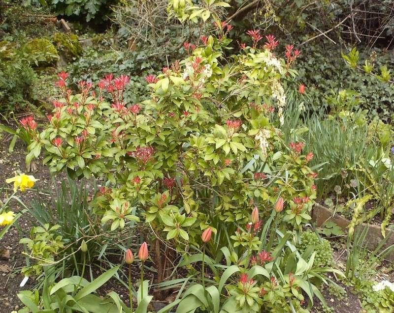 Pieris japonica 'Forest Flame' Hpim5519