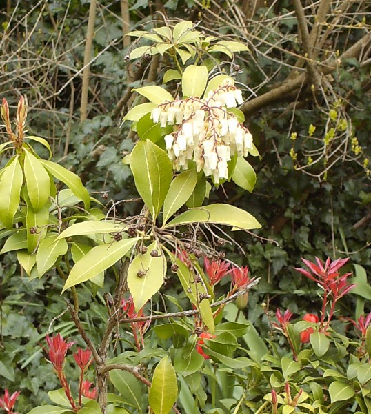 Pieris japonica 'Forest Flame' Hpim5520