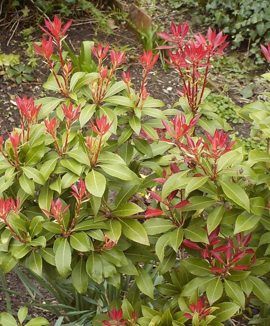 Pieris japonica 'Forest Flame' Hpim5521