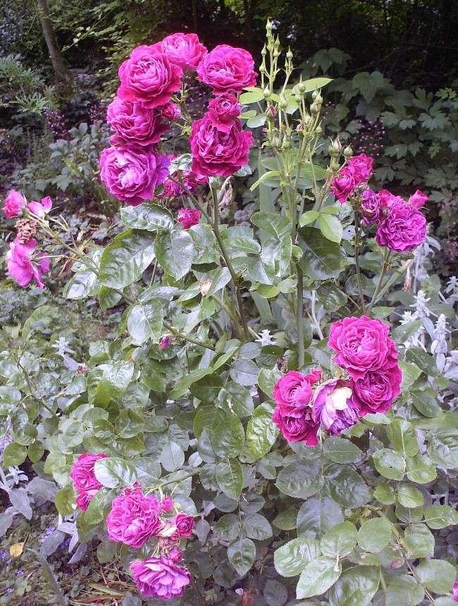 Mes rosiers Hpim6614