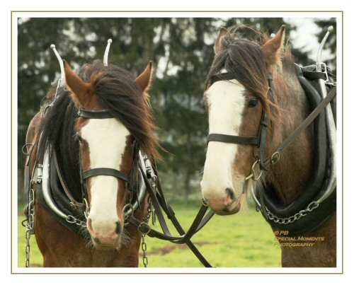 Heavy horse - plough 506612