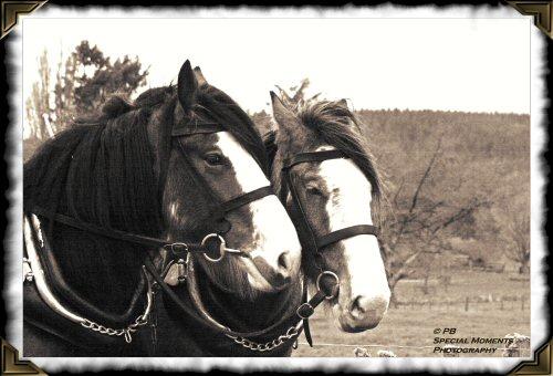 Heavy horse - plough 5146se10