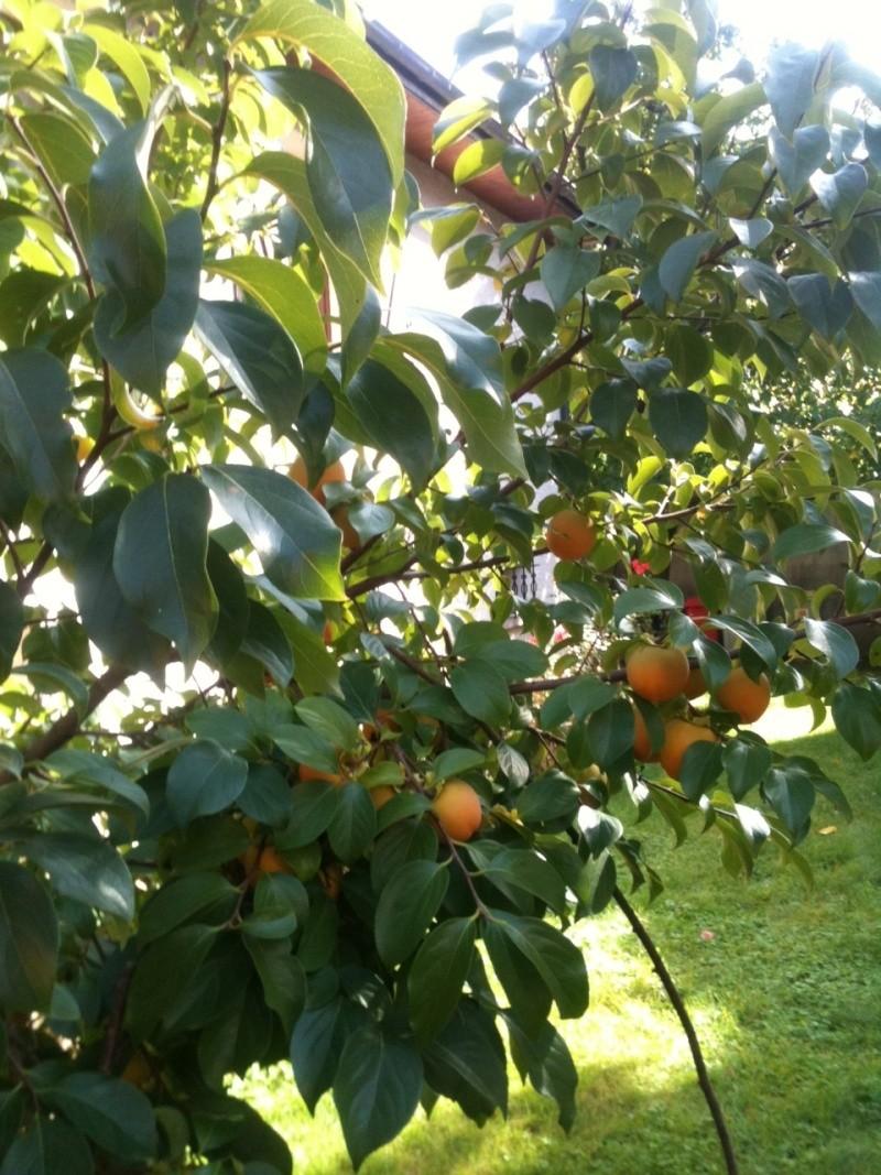 Kaki-pomme, vous connaissez ? Photo_15