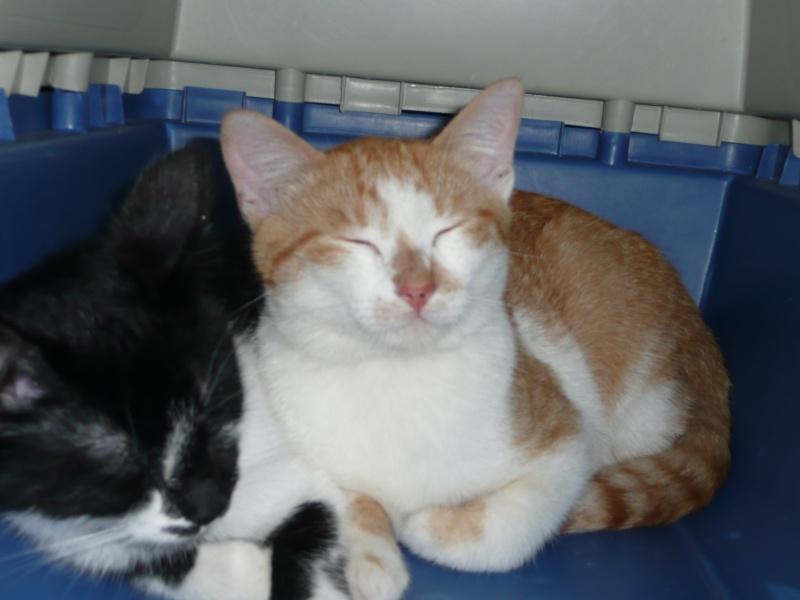 DECIBEL chaton roux et blanc [adopté] Decibe10