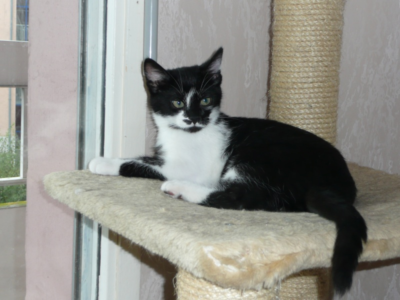 BLANC - DOMINO chaton noir et blanc...[adopté] Domino10