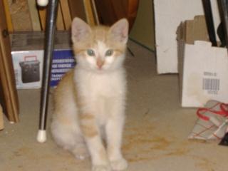 DECIBEL chaton roux et blanc [adopté] Dscf2613