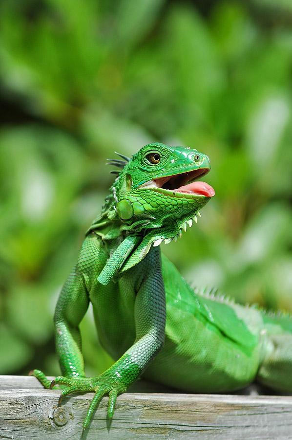 Fil Vert Iguane10