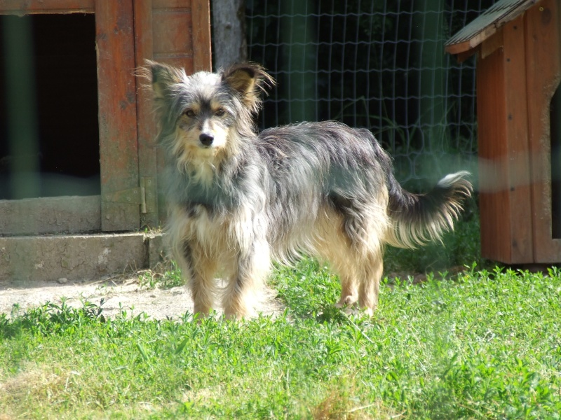 Helisa, x berger des shetland, née 2010 - Tabanac 33 Halisa10
