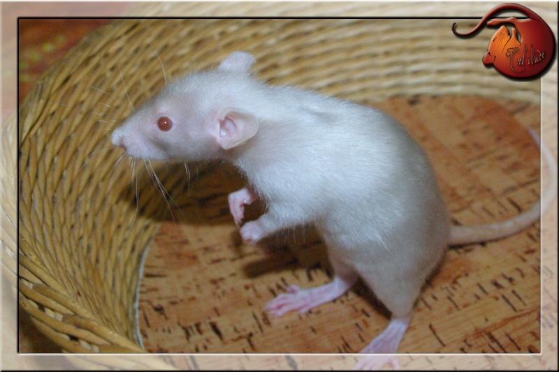 [GÉNÉTIQUE]  Types de poil, morphologie et couleurs d'yeux du rat Imgp5729