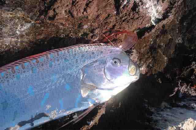 سمكة غريبة في ماليزيا لأول مرة تنشر صورها ..!! 904d3f10