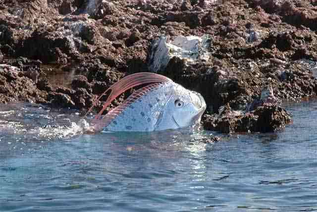 سمكة غريبة في ماليزيا لأول مرة تنشر صورها ..!! D8f6fd10