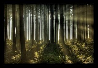 Light Mist Forest