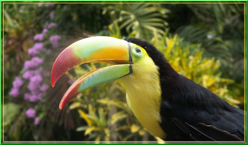Quelques oiseaux Toucan10