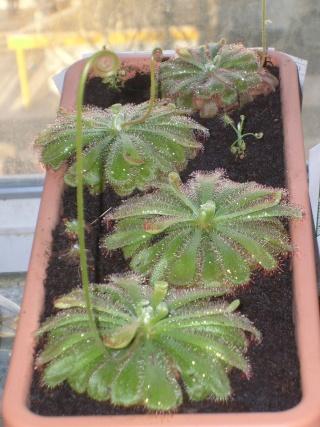 Plantes de dioséra - Page 2 05_04_21