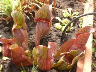 Plantes de dioséra - Page 2 05_04_34