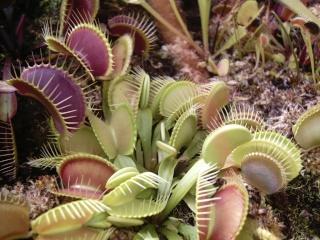 Plantes de dioséra - Page 2 13_07_10