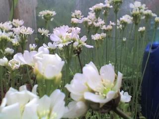 Plantes de dioséra - Page 2 31-05-11