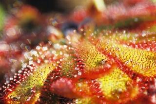 Plantes de dioséra - Page 2 F1050010