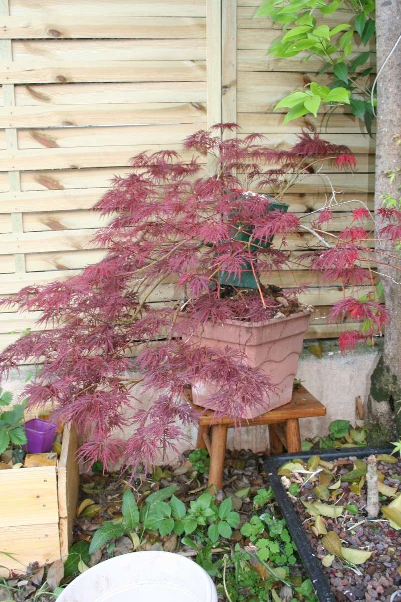 Acer palmatum dissectum atropurpureum Img_4310