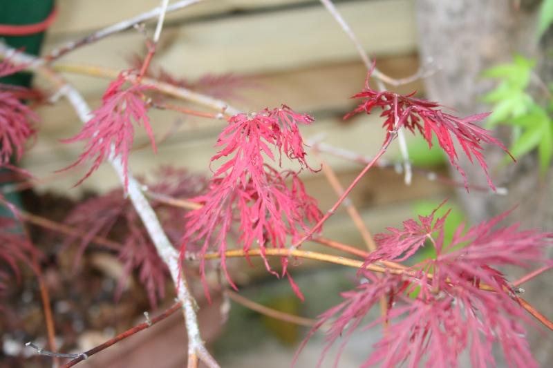 Acer palmatum dissectum atropurpureum Img_4311