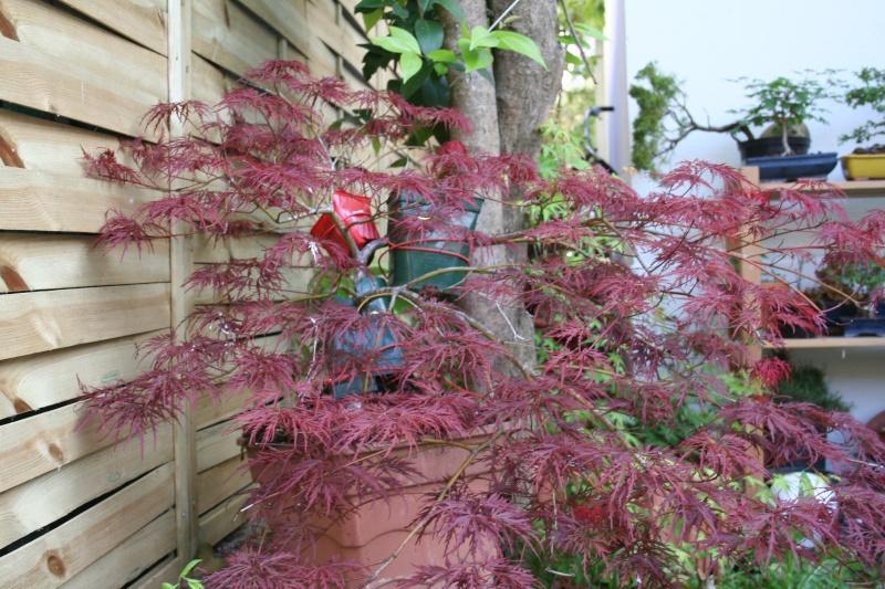 Acer palmatum dissectum atropurpureum Img_4312