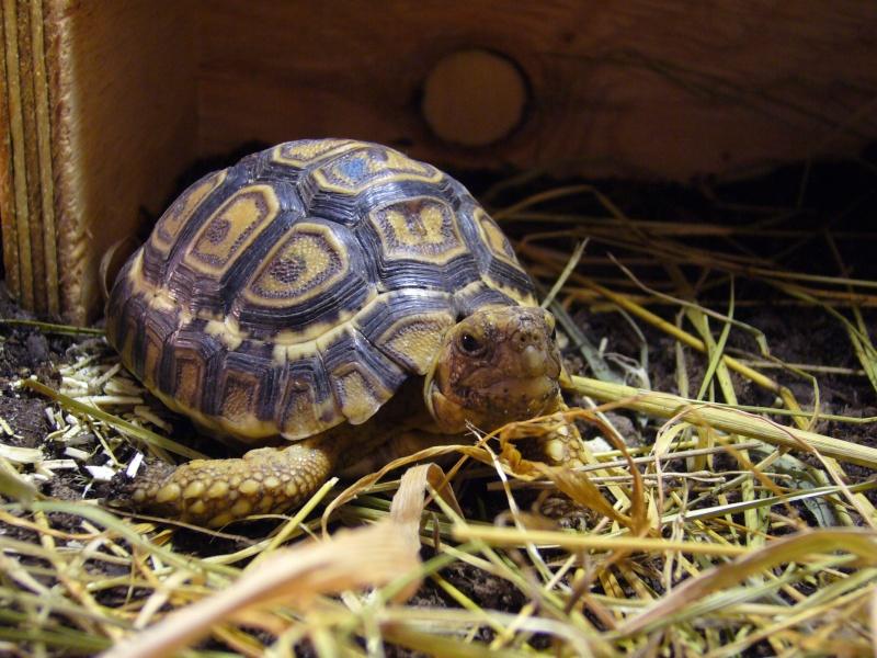 Question tortue léopard. P1010811