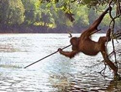 İnsan Gibi Balık Avlayan Orangutan 6140810