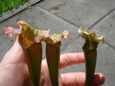 Moorei x Leucophylla ???? Dsc03215