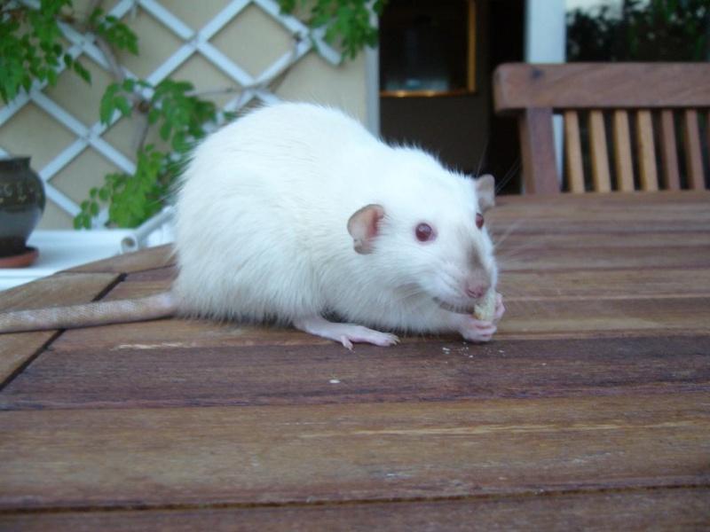 bébé rat a adopter !! marseille Luna_210