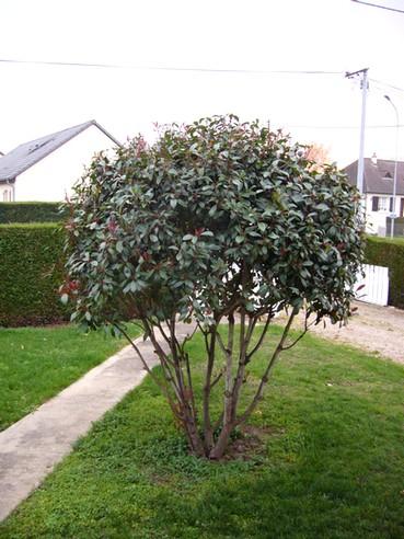 Photinia et aménagement du pied de l'arbuste Photin10