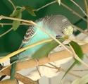 mes perruches ondulées - Page 2 Jumopa10