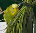 Petite perruche pas très intéressée ... Olive_14