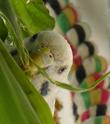 Les yeux des perruches.  Perle_12