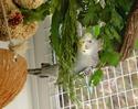 mes perruches ondulées - Page 2 Ptgris10