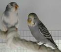 Les comportements naturels des perruches Titepi11