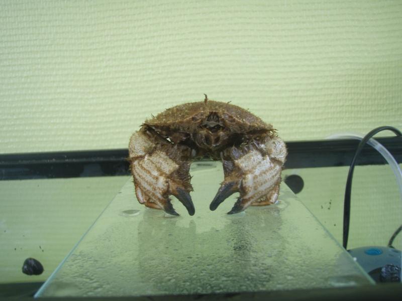 Identification crabe... P6060010
