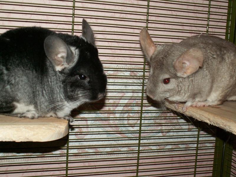 couple chinchillas Pict0036