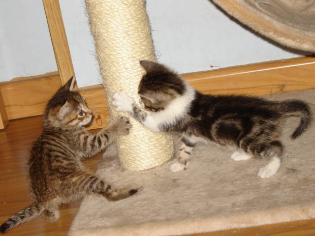 Para que dos gatos se lleven bien. Pautas de presentación de gatos. Pelea710