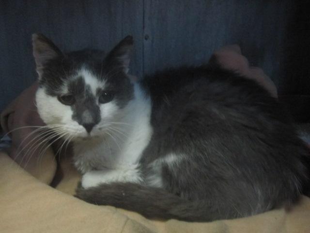 Maousse, mâle gris et blanc né en 2006, Nancy (54) Maouss14
