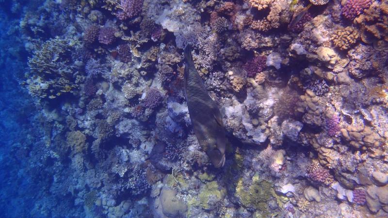 photos de plongée snorkeling en mer rouge( tortues, raies..) P7180110