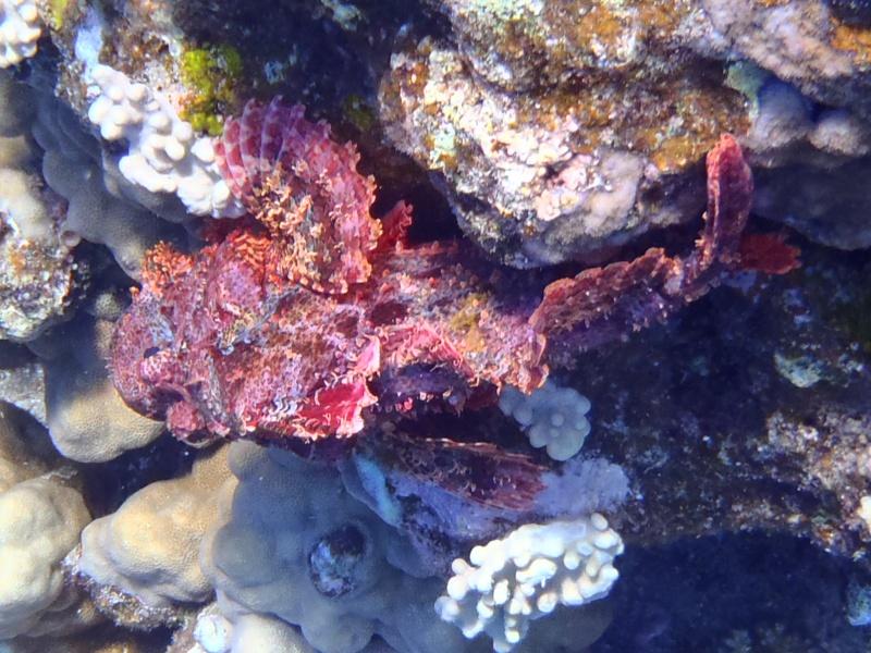 photos de plongée snorkeling en mer rouge( tortues, raies..) P7190210