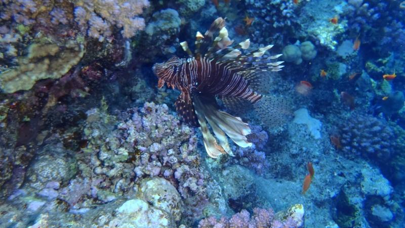 photos de plongée snorkeling en mer rouge( tortues, raies..) P7190211