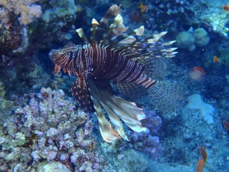 photos de plongée snorkeling en mer rouge( tortues, raies..) P7190212