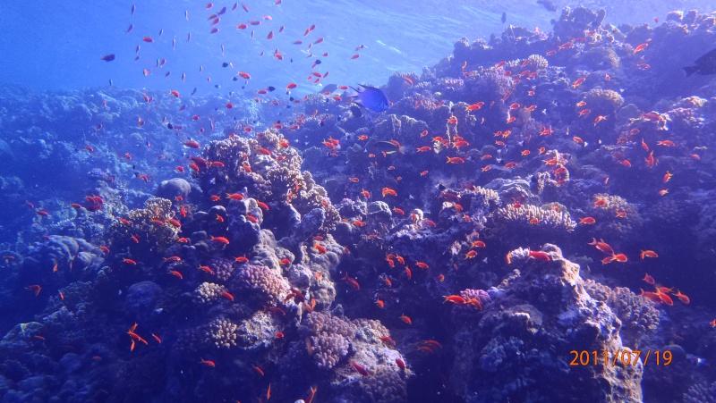 photos de plongée snorkeling en mer rouge( tortues, raies..) P7190510