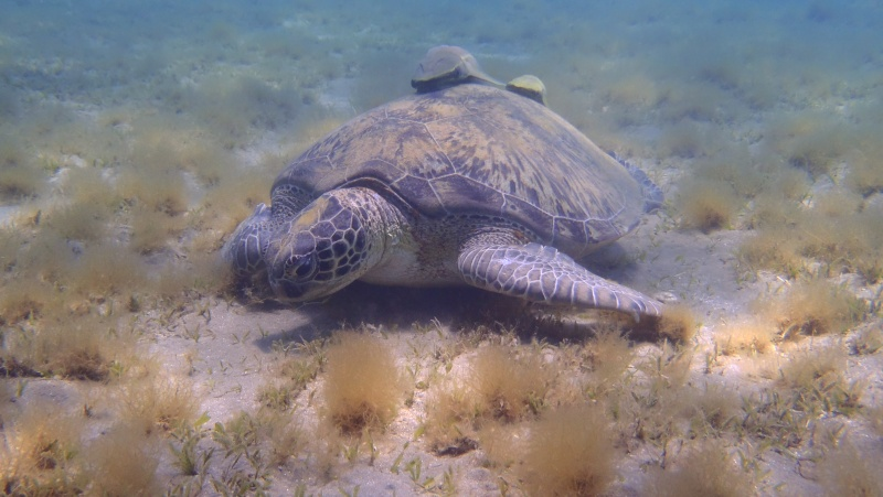 photos de plongée snorkeling en mer rouge( tortues, raies..) P7200211