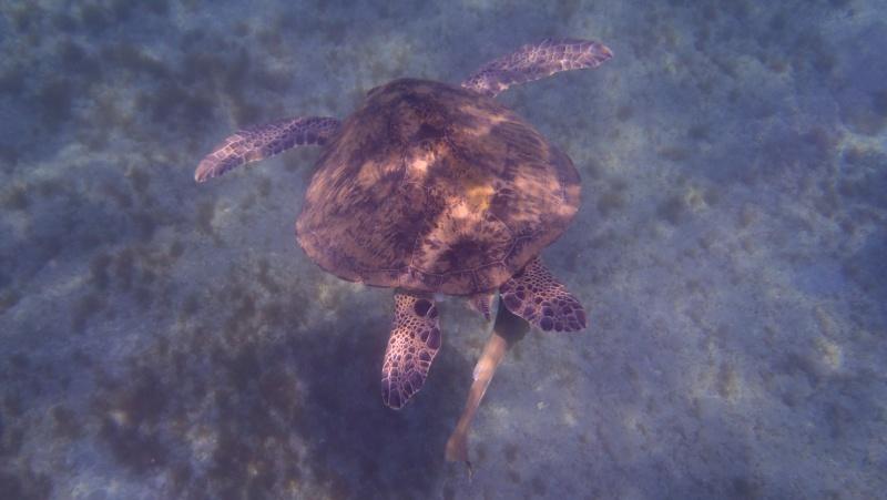 photos de plongée snorkeling en mer rouge( tortues, raies..) P7200212
