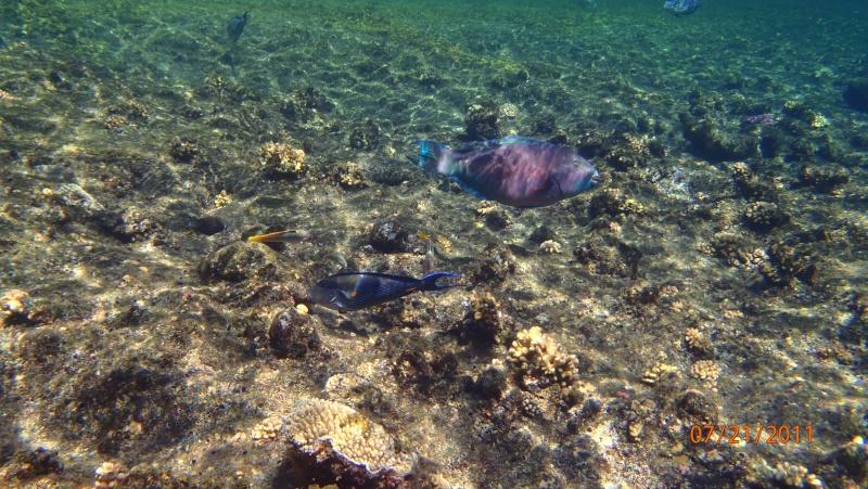 photos de plongée snorkeling en mer rouge( tortues, raies..) P7210610
