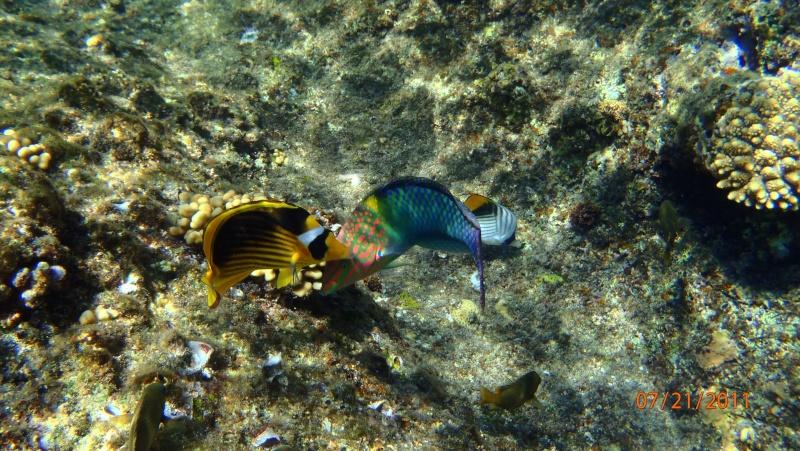 photos de plongée snorkeling en mer rouge( tortues, raies..) P7210710